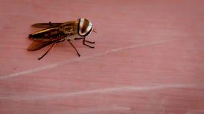Punto di vista alto vicino della mosca della frutta immagini stock