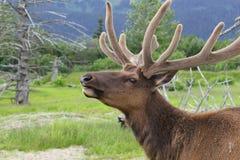 Punto di vista alto vicino di estremo della renna Fotografia Stock