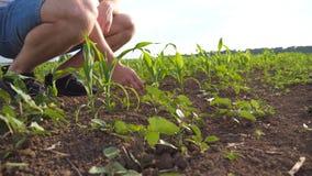 Punto di vista di angolo basso dell'agricoltore maschio irriconoscibile che tocca delicatamente terra sul campo di mais all'alba  archivi video