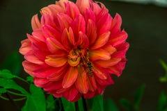 Punto di vista aperto vicino di vista del fiore rosso della dalia e di piccola arancia w immagine stock libera da diritti