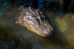 Punto di vista capo dell'alligatore da sopra Immagini Stock