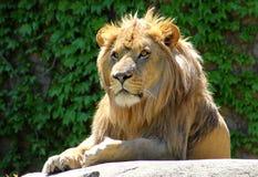 Punto di vista dei leoni Immagini Stock