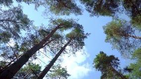 Punto di vista dei pini dal fondo su Corone dei pini contro cielo blu video d archivio