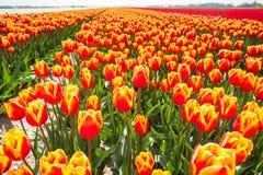 Punto di vista dei tulipani arancio luminosi nell'ora legale Fotografie Stock