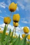Punto di vista dei tulipani gialli da sotto Immagini Stock