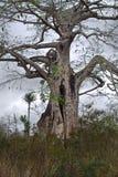 Punto di vista del baobab contro il cielo grigio nuvoloso, Bengo fotografie stock