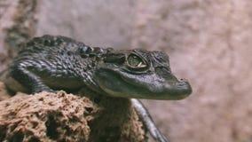 Punto di vista del coccodrillo verde che si siede nell'uccelliera trasparente Animale pericoloso Predatore stock footage