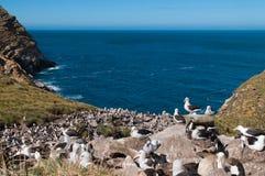 Punto di vista del mare della colonia di allevamento dell'albatro Immagine Stock