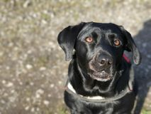 Punto di vista del muso di un cane nero di Labrador Fotografie Stock Libere da Diritti