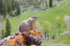 Punto di vista del paesaggio della marmotta su roccia Immagini Stock Libere da Diritti