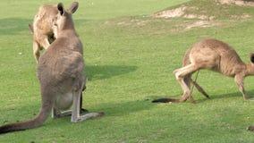 Punto di vista del primo piano dei canguri rossi adulti che mangiano erba verde allo zoo, 4K archivi video