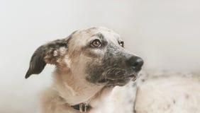 Punto di vista del primo piano del cane in bianco e nero di menzogne del cucciolo Immagine Stock Libera da Diritti