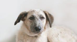 Punto di vista del primo piano del cane mezzo sangue in bianco e nero di menzogne del cucciolo Immagini Stock