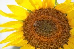 Punto di vista del primo piano dell'ape sul girasole fotografie stock libere da diritti