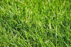 Punto di vista del primo piano di erba sul campo da golf con il dettaglio dei gambi e della sfuocatura dell'individuo Fotografia Stock
