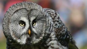 Punto di vista del primo piano di grande Grey Owl 02 Immagine Stock