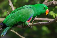 Punto di vista del primo piano di un pappagallo di Eclectus del maschio adulto Fotografia Stock Libera da Diritti