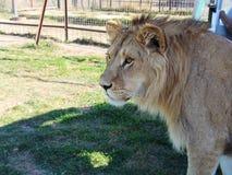 Punto di vista del primo piano di giovane leone fotografia stock libera da diritti