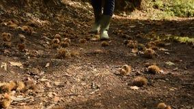 Punto di vista del raccolto della donna con gli stivali di pioggia che cammina nella foresta centennale della castagna video d archivio