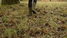 Punto di vista del raccolto della donna con gli stivali di pioggia che cammina nella foresta centennale della castagna archivi video