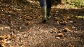 Punto di vista del raccolto della donna con gli stivali di pioggia che cammina nella foresta centennale della castagna stock footage