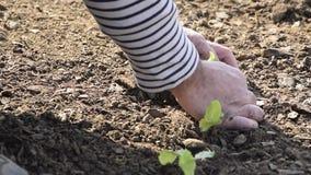 Punto di vista del raccolto delle mani dell'uomo che lo prendono a giovane lattuga fresca per la pianta stock footage