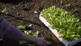 Punto di vista del raccolto delle mani della donna che lo prendono a giovane lattuga fresca per la pianta video d archivio