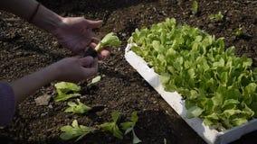 Punto di vista del raccolto delle mani della donna che lo prendono a giovane lattuga fresca per la pianta archivi video