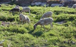 Punto di vista del terreno coltivabile delle pecore che pascono in un campo verde Fotografia Stock Libera da Diritti