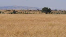 Punto di vista dell'Africano Savannah In The Dry Season con alta erba secca gialla
