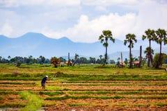 Punto di vista dell'agricoltore tailandese che lavora nella risaia Fotografie Stock