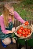 Punto di vista dell'angolo alto del giardiniere felice che esamina la merce nel carrello fresca dei pomodori il giardino Fotografia Stock