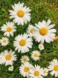 Punto di vista dell'angolo alto delle margherite nell'erba fotografie stock libere da diritti
