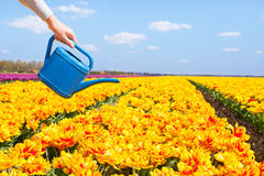 Punto di vista dell'annaffiatoio della tenuta della mano e dei tulipani gialli Fotografie Stock