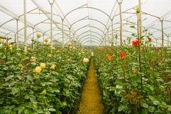 Punto di vista dell'interno di bello bianco e delle rose rosse sulle serre, sulla produzione e sulla coltivazione dei fiori Fotografia Stock Libera da Diritti