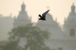 Punto di vista dell'uccello: Sparato in Goa, l'India Ciò è una sterna del fiume Fotografia Stock