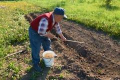 Punto di vista dell'uomo anziano che seppellisce le giovani patate con un rastrello in terra in giardino Immagini Stock