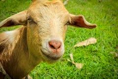 Punto di vista della capra Immagini Stock Libere da Diritti