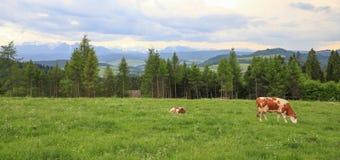 Punto di vista della mucca nel prato della montagna/nell'agricoltura ecologica Immagine Stock Libera da Diritti