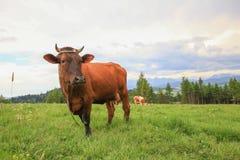 Punto di vista della mucca nel prato della montagna/nell'agricoltura ecologica Immagine Stock
