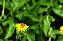 Punto di vista della parte di sinistra di una mosca del tipo di ape che raccoglie nettare e che impollina un wildflower giallo in Fotografia Stock