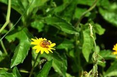 Punto di vista della parte di sinistra di una mosca del tipo di ape che raccoglie nettare e che impollina un wildflower giallo in Fotografie Stock Libere da Diritti