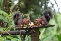 Punto di vista dello scoiattolo variegato immagini stock libere da diritti