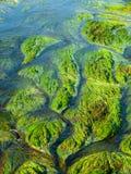 Punto di vista dettagliato dell'erba e delle alghe del fiume Fotografia Stock Libera da Diritti