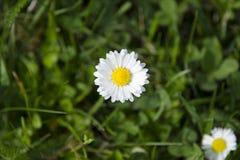 Punto di vista dettagliato della margherita di fioritura pulita su un prato in erba vaga e verde su una molla soleggiata e nell'e Fotografie Stock