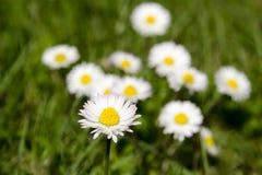 Punto di vista dettagliato della margherita di fioritura pulita su un prato in erba vaga e verde su una molla soleggiata e nell'e Immagine Stock