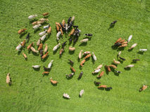 Punto di vista di Aaerial delle mucche in un gregge su un pascolo verde con cielo blu di estate Fotografie Stock