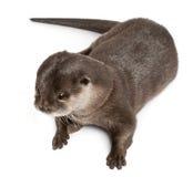 Punto di vista di alto angolo della lontra piccolo-artigliata orientale fotografia stock libera da diritti