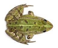 Punto di vista di alto angolo della rana europea comune Fotografie Stock