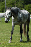 Punto di vista di Fron di vecchio cavallo bianco dei kladrubs fotografie stock libere da diritti